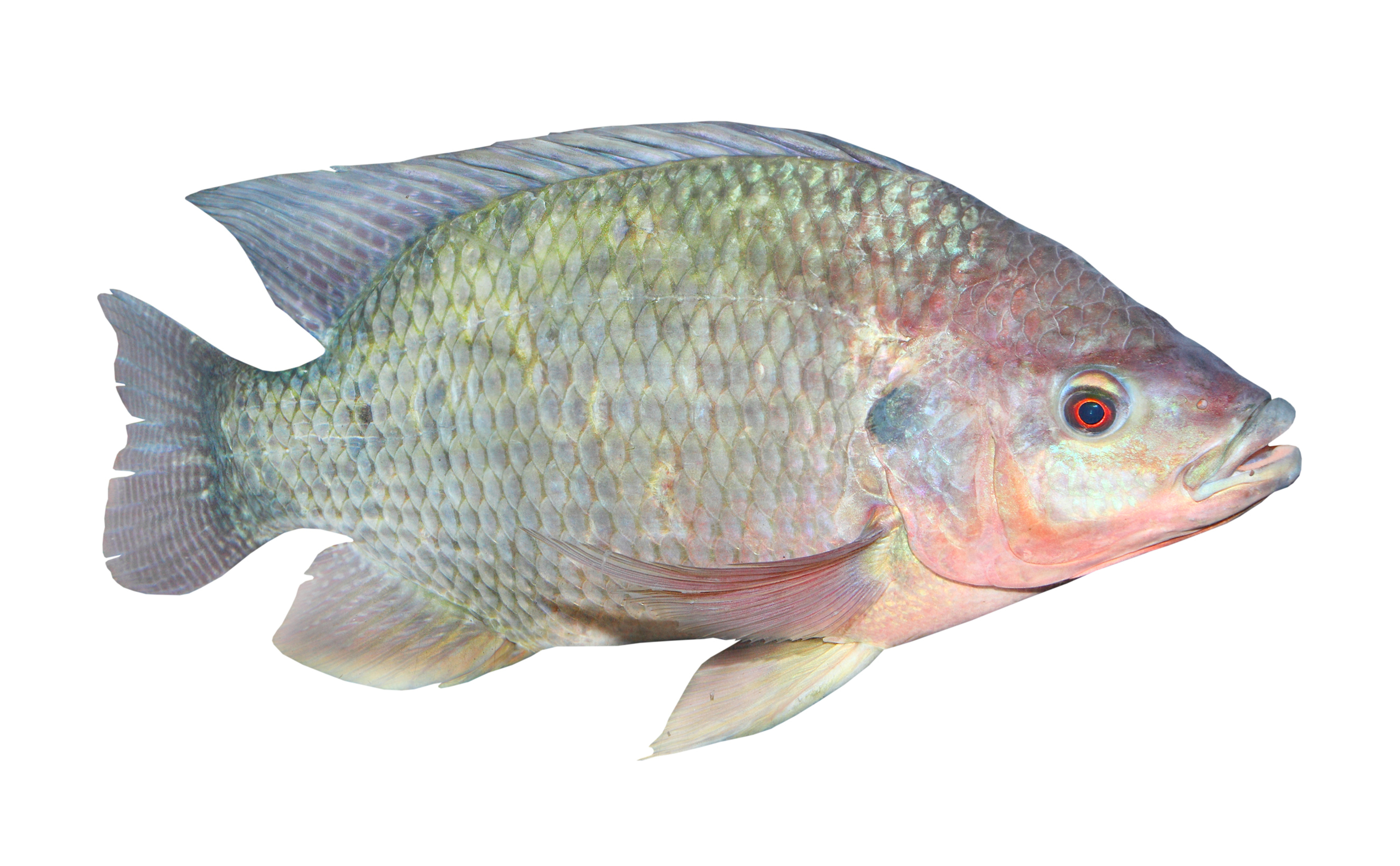 Americas tilapia alliance successor entity to the former for Tilapia not real fish