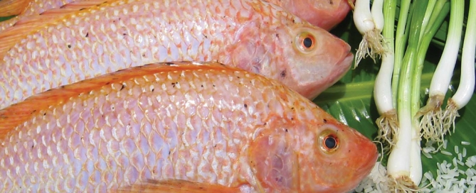 tilapia pixChina article